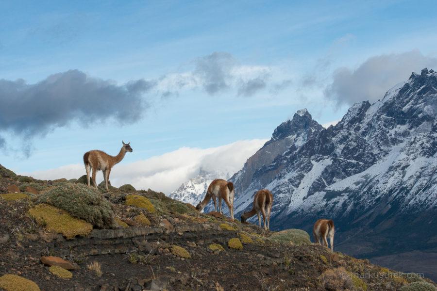 Guanakos in Patagonien, im Hintergrund sind die Cuernos zu sehen.