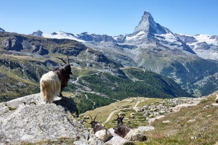 Eine tolle Aussicht gibt es beim Naturfoto-Workshop im Wallis. Hauptdarsteller sind das Matterhorn oder Walliser Schwarzhalsziegen.