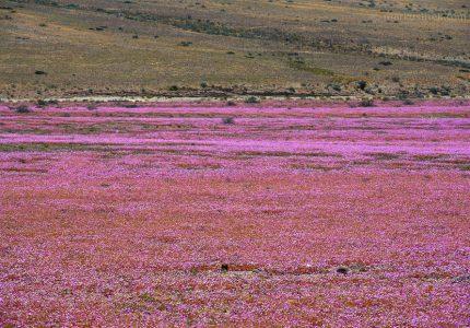"""Die """"blühende Atacamawüste"""". Eine bunte Landschaft, die es nur alle paar Jahre so gibt."""